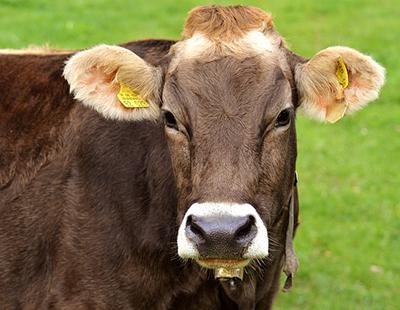 Livestock Button